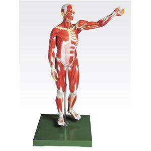その他 人体解剖模型 【男性/27分解】 塩化ビニール製 台付き J-111-2【代引不可】 ds-1877915