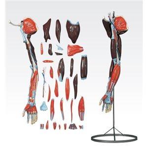 その他 上肢模型/人体解剖模型 【31分解】 J-119-1【代引不可】 ds-1877935