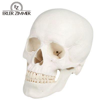エルラージーマー社 頭蓋3分解モデル 4535847005025