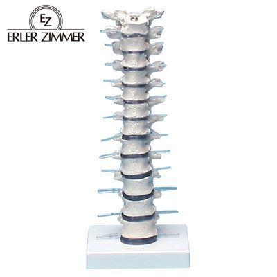 エルラージーマー社 胸椎モデル 24-5091-00