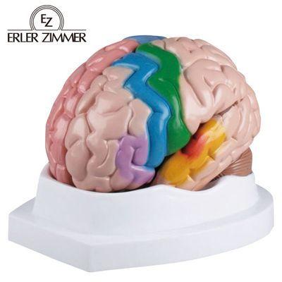 エルラージーマー社 脳5分解モデル 24-5094-00