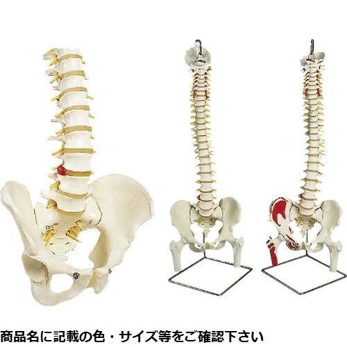 その他 京都科学 脊柱可動型モデル標準型(スタンド付) A58/3(A59/8ツキ) CMD-00213430【納期目安:1週間】