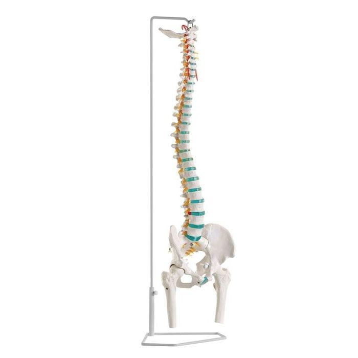 エルラージーマー社 脊柱可動モデル(大腿骨付) A251 24-5089-01