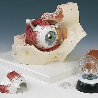 その他 京都科学 視覚器(眼球)と眼窩7分解モデル F13 (18×26×19cm) 11-2110-00【納期目安:1週間】