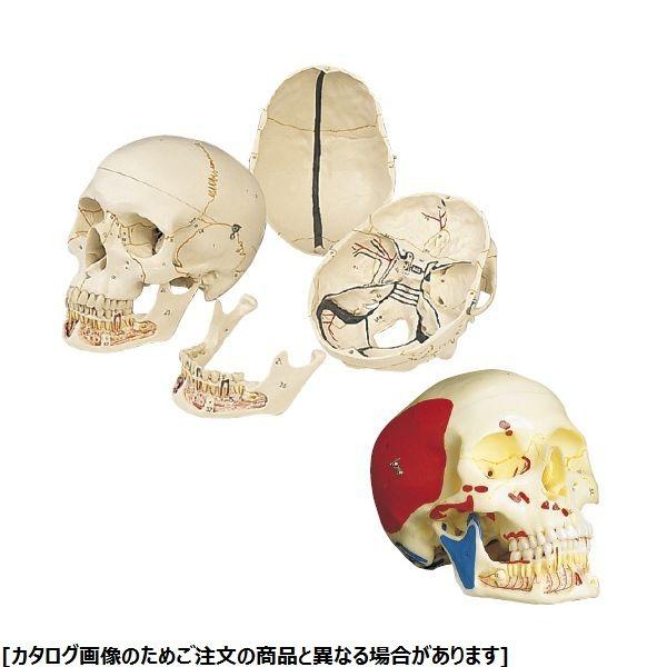 その他 日本スリービー・サイエンティフィック 頭蓋、下顎開放型、3分解モデル A22/1(筋色表示) 11-2030-01【納期目安:1週間】