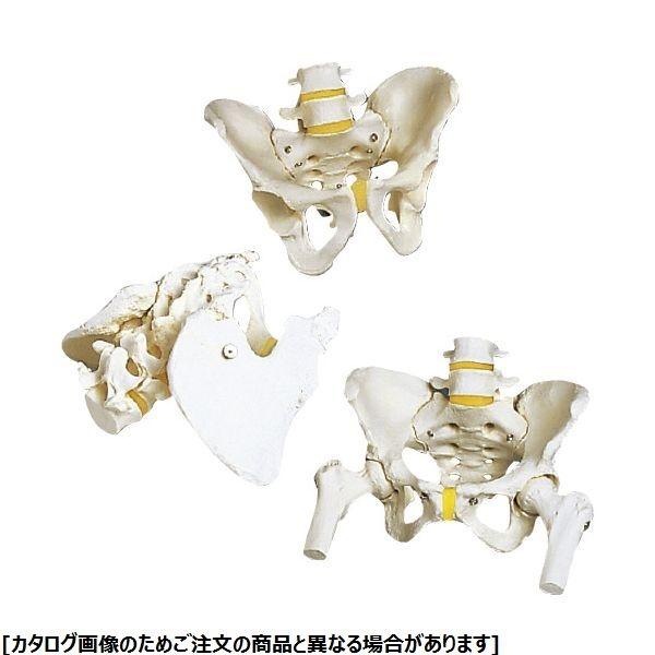 その他 日本スリービー・サイエンティフィック 骨盤モデル A62 女性・大腿骨付 11-2195-01【納期目安:1週間】