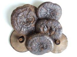 黒芝(霊芝) 乾燥自然体(原型霊芝) 1kg 送料無料