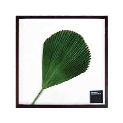 F-style Vanuatu fan palm IFF-10030