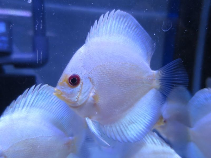(熱帯魚 ディスカス 生体)【お買い得!セット】スーパー ブルー ダイヤモンド・ディスカス 6cm(2匹セット)(730番/水槽番号:006)