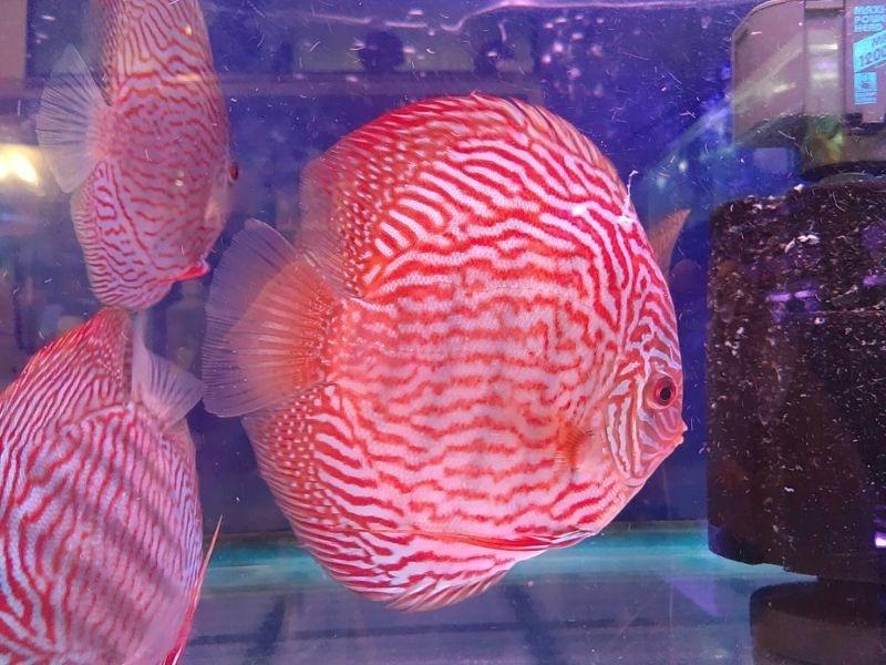 (熱帯魚 ディスカス 生体)【シュミットホッケ】ジャーマン レッド ターコイズ・ディスカス 15-18cm(868番/水槽番号:051)