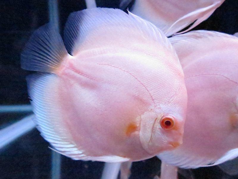 観賞魚 ディスカス / 熱帯魚 ディスカス 生体 / (熱帯魚 ディスカス 生体)ルビー イン プラチナ・ディスカス 10cm±(900番/水槽番号:094)