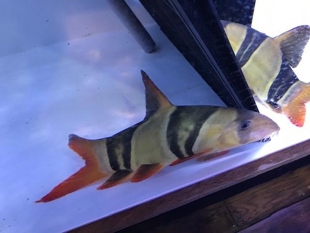 (熱帯魚 淡水 エイ 生体)クラウンローチ 尾鰭欠け25cm(K002番:水槽番号:048)