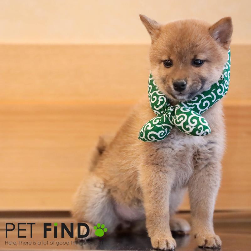 送料無料 スカーフ 唐草模様 はちまき 犬 かわいい 犬のスカーフ アウトレット 舗 散歩 おしゃれ petfind