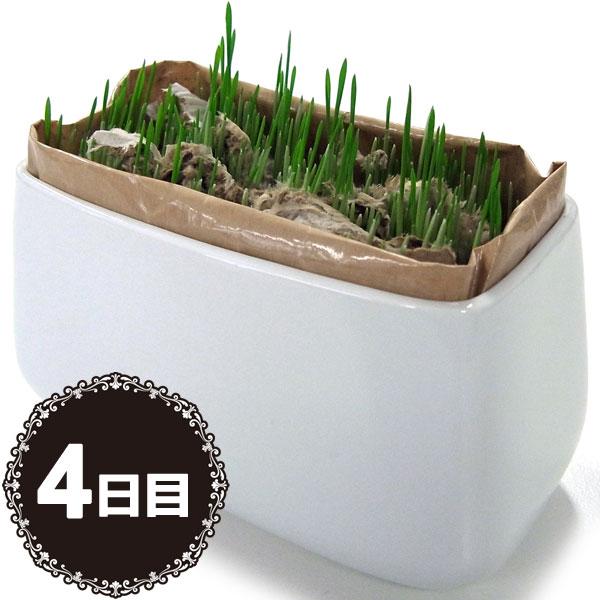 アラタ ねこの草栽培セット 3回分 (キャットフード/ペットフード/猫