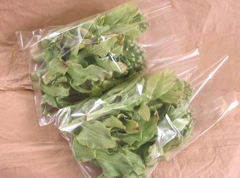ふきのとうの茎500g 250g×2袋 クール便 山形県産 在庫一掃 商い