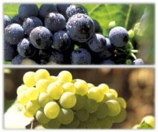 Bourgogne Chardonnay ( McHale de Gramont ) Bourgogne Chardonnay (Machard de Gramont)