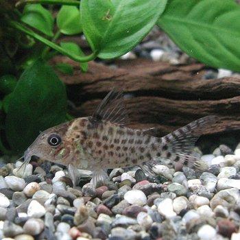 熱帯魚 観賞魚 コリドラス アガシジ 1匹