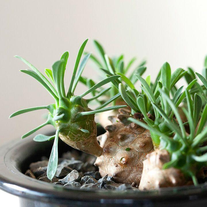 滅多に出回らない、個性あふれる多肉植物です。 【お届けは10/1~】ユーフォルビア・ガビザン(峨眉山)
