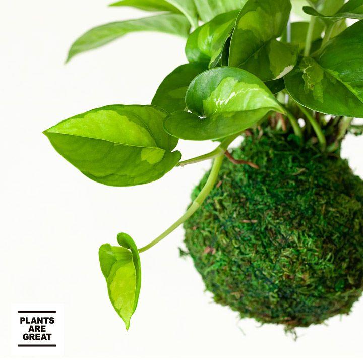 新しいポトスを苔玉スタイルで 正規品スーパーSALE×店内全品キャンペーン お届けは9 15~ 観葉植物 ポトスグローバルグリーンの苔玉 お得クーポン発行中 今月のおすすめ