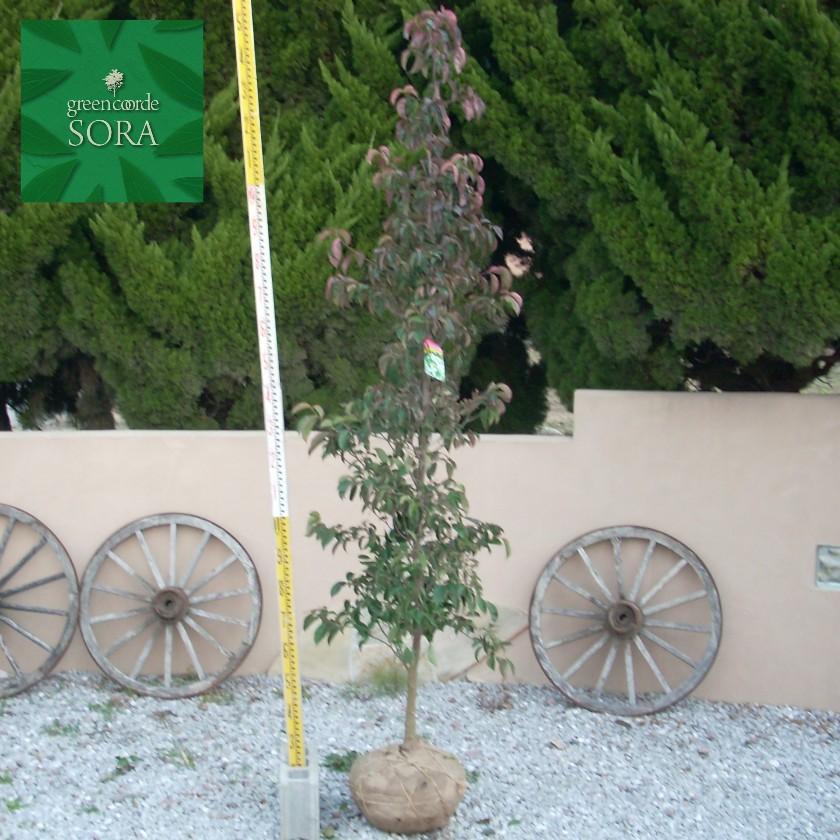 ★お求めやすく価格改定★ 常緑ヤマボウシ 単木 樹高 H:3000mm:SORA-ガーデニング・農業