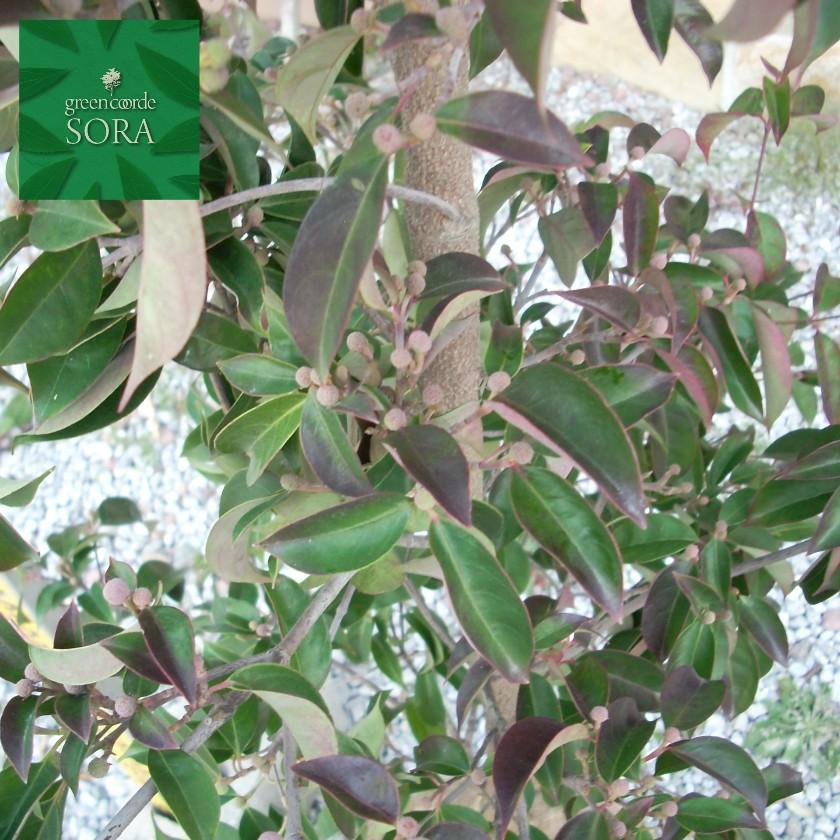 常緑ヤマボウシ 単木 樹高 H:3000mm
