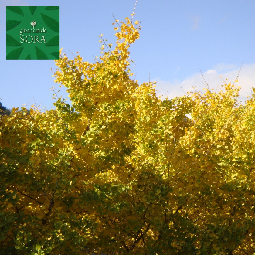 イチョウ 単木 樹高H:3000mm