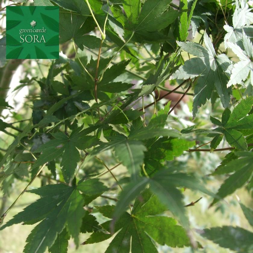 イロハモミジ 単木 樹高 H:3500mm