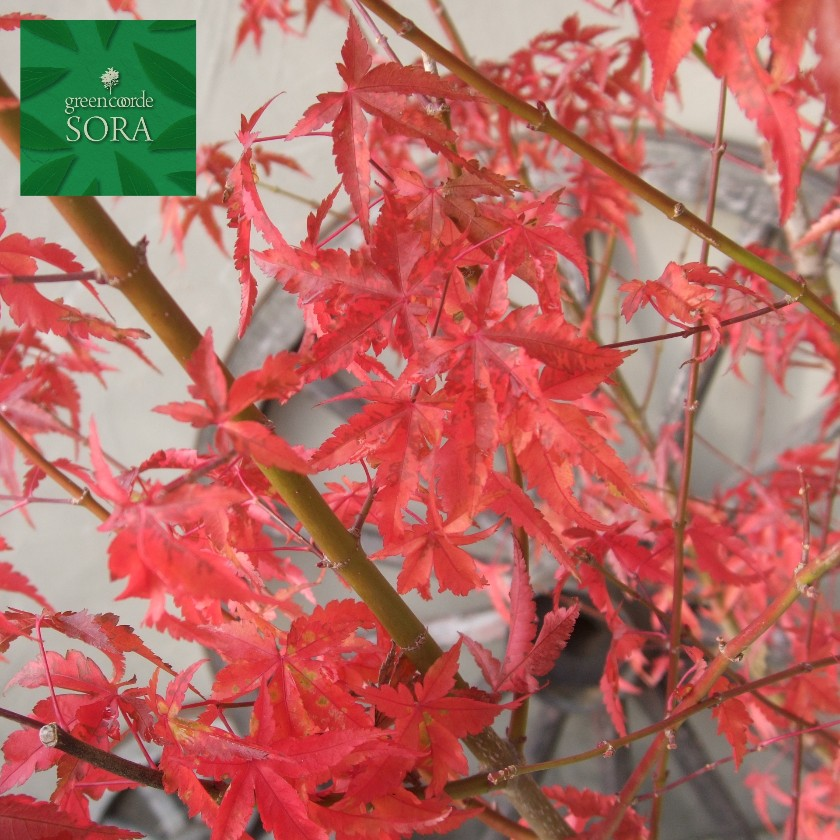 一番人気物 イロハモミジ 単木 樹高 H:3000mm:SORA-ガーデニング・農業