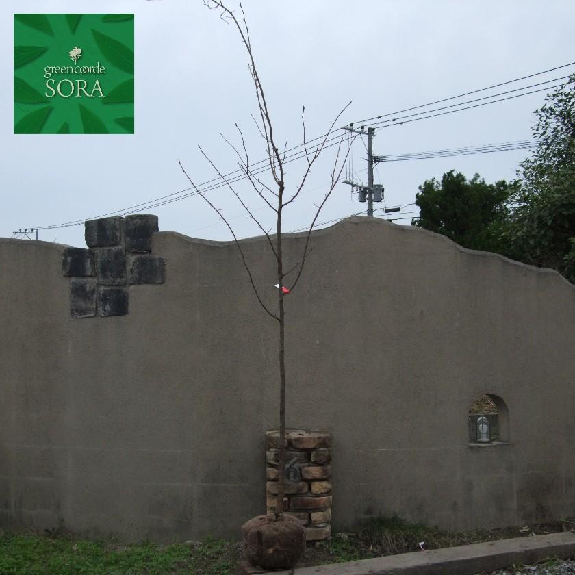 オオヤマザクラ 単木 樹高H:4000mm