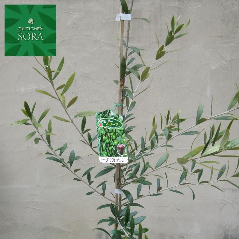 良質  ネバディロブランコ オリーブ 樹高H:2500mm:SORA-ガーデニング・農業
