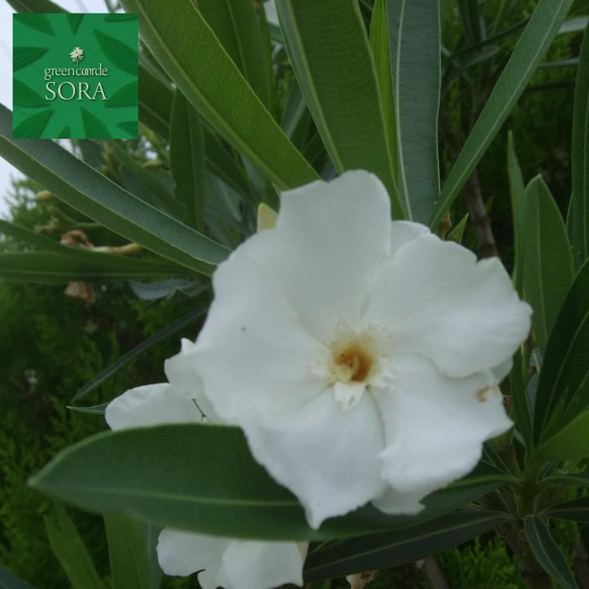 キョウチクトウ 白花 樹高H:1500mm