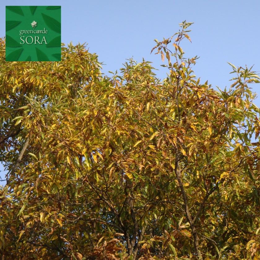クヌギ 単木 樹高H:2000mm