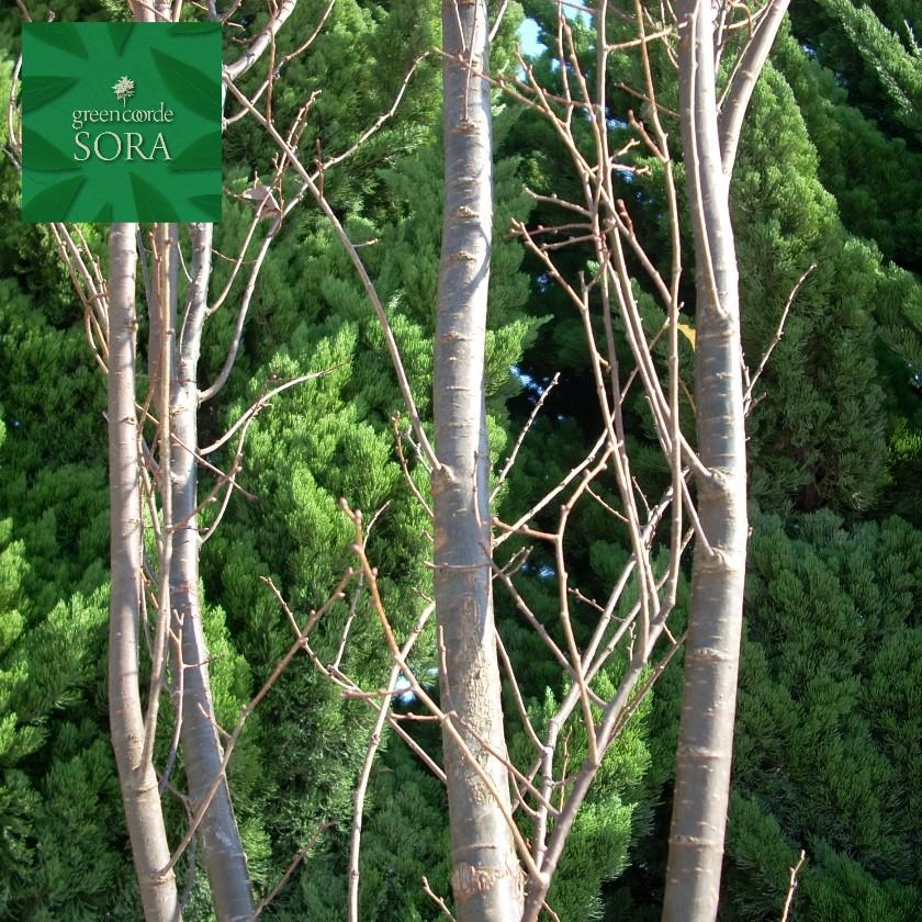 【史上最も激安】 ケヤキ 単木 樹高 H:3000mm:SORA-ガーデニング・農業