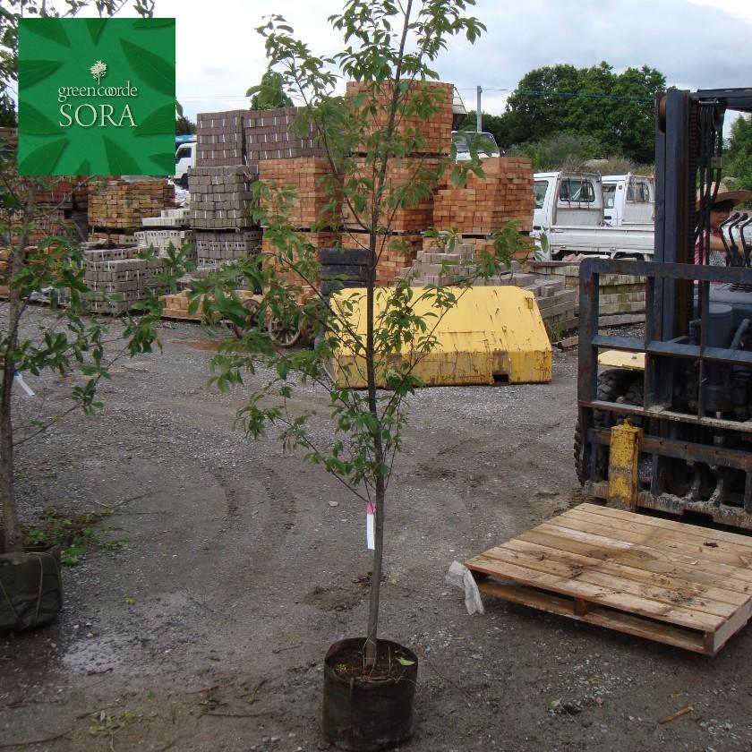 特価商品  コナラ 単木 樹高H:2500mm:SORA-ガーデニング・農業