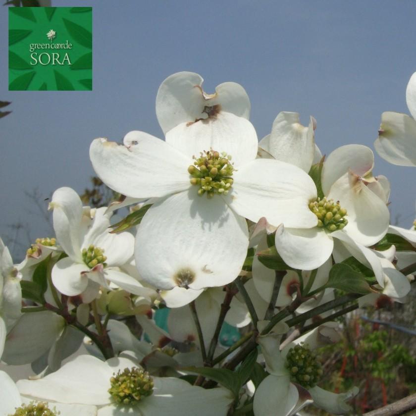 花水木 白 単木 樹高 H:2500mm