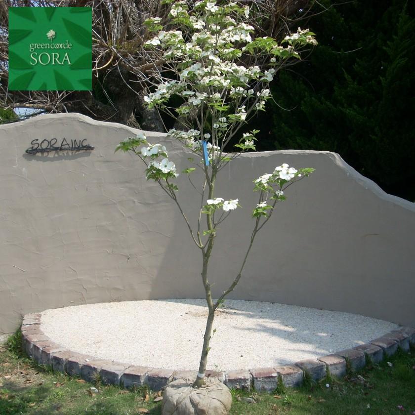 花水木 白 単木 樹高 H:3000mm