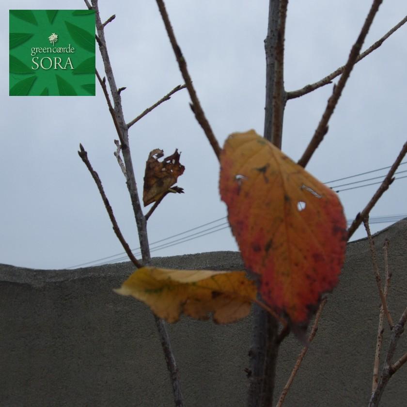 3月中旬に咲く桜 陽光桜 ヨウコウザクラ 単木 年中無休 樹高H:3000mm 植木 マート 苗