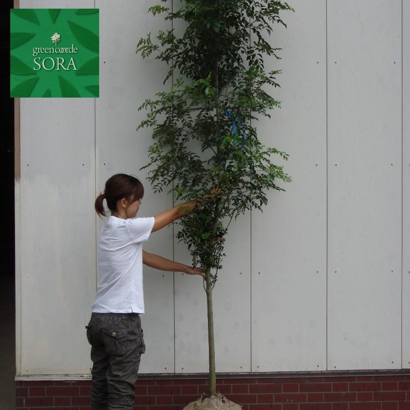 シマトネリコ 単木 樹高H:2500mm