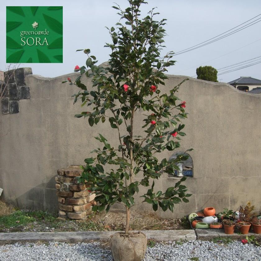 日本の照葉樹林を代表する樹種 薮椿 ヤブツバキ オンラインショップ 単木 苗 人気の製品 樹高H:2000mm 植木
