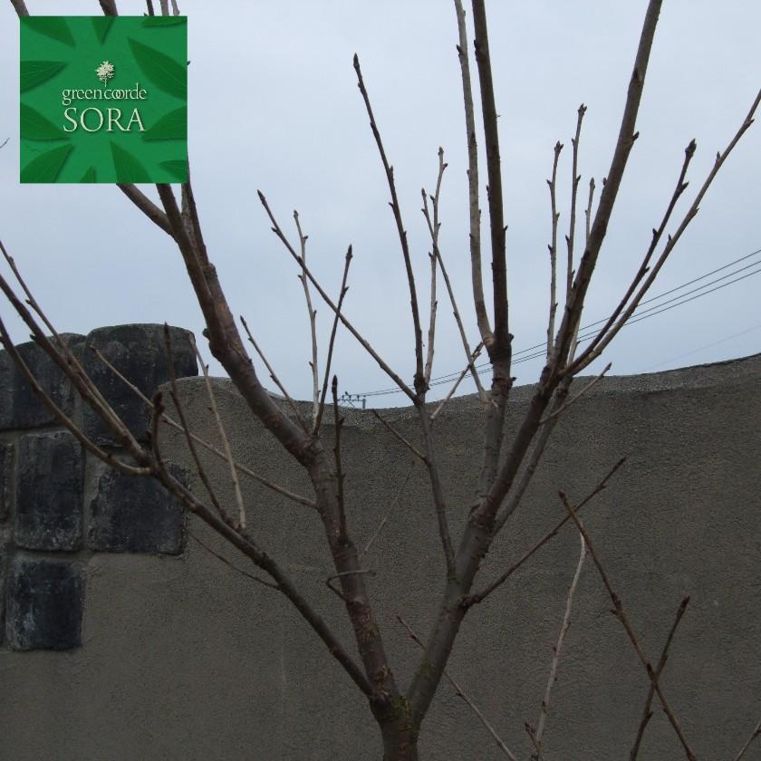 ヤエザクラ シロ 単木 樹高H:3000mm