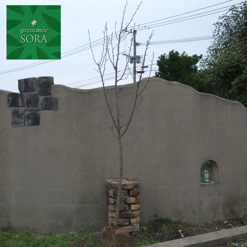 トップ 樹高H:3000mm:SORA 単木 ヤエザクラ キイロ-ガーデニング・農業