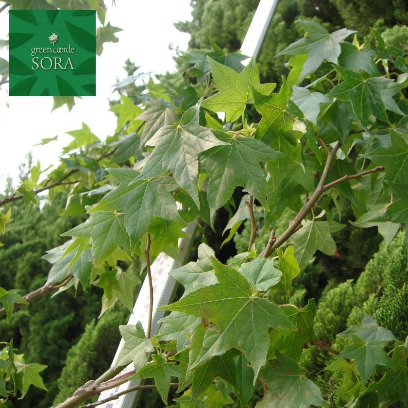 モミジバフウ 単木 樹高H:2000mm