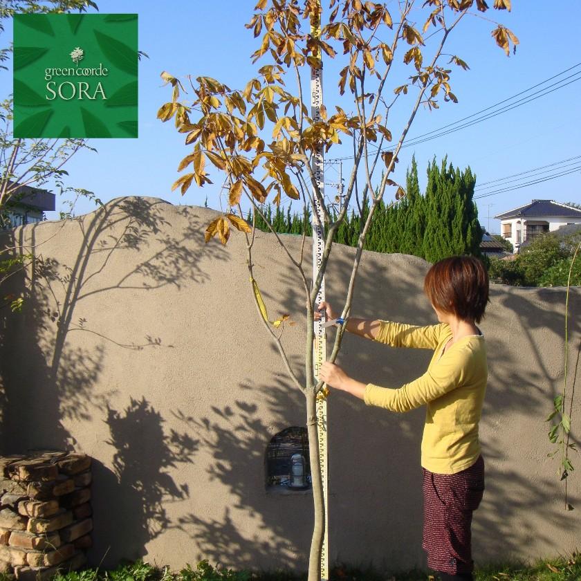 ベニバナトチノキ 単木 樹高H:3000mm