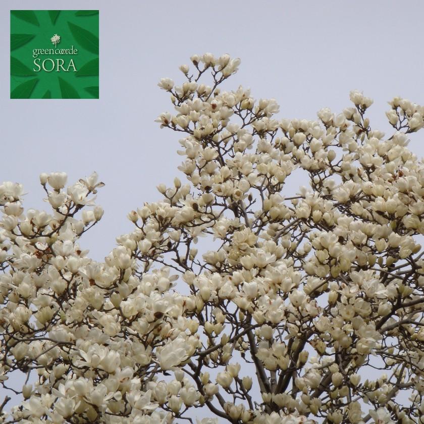 お得セット H:2500mm:SORA 単木 樹高 ハクモクレン-ガーデニング・農業