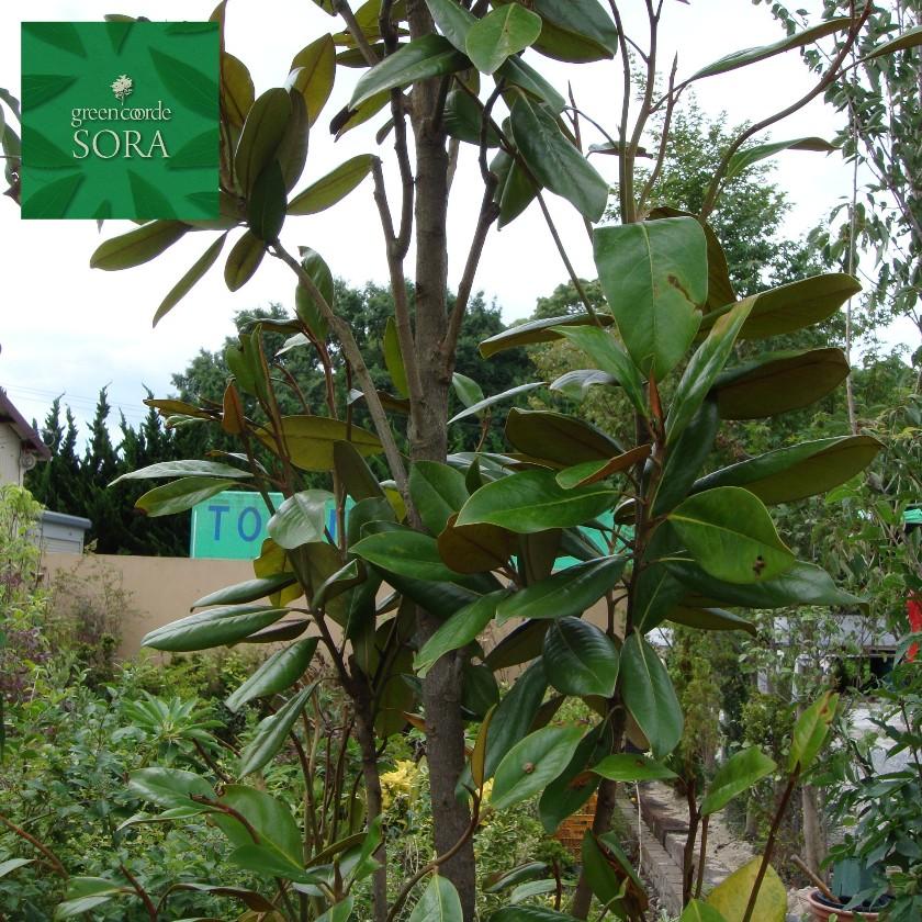 タイサンボク 単木 樹高H:3000mm