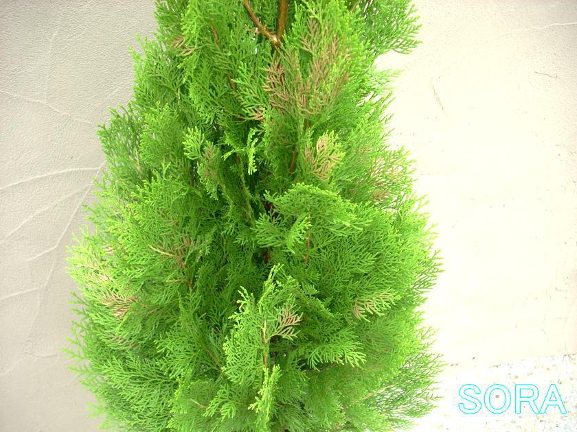 エレガンテシマ 樹高H:2000mm