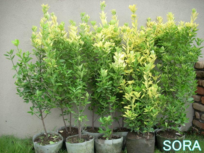 黄金マサキH900~1100 10本 05P03Dec16
