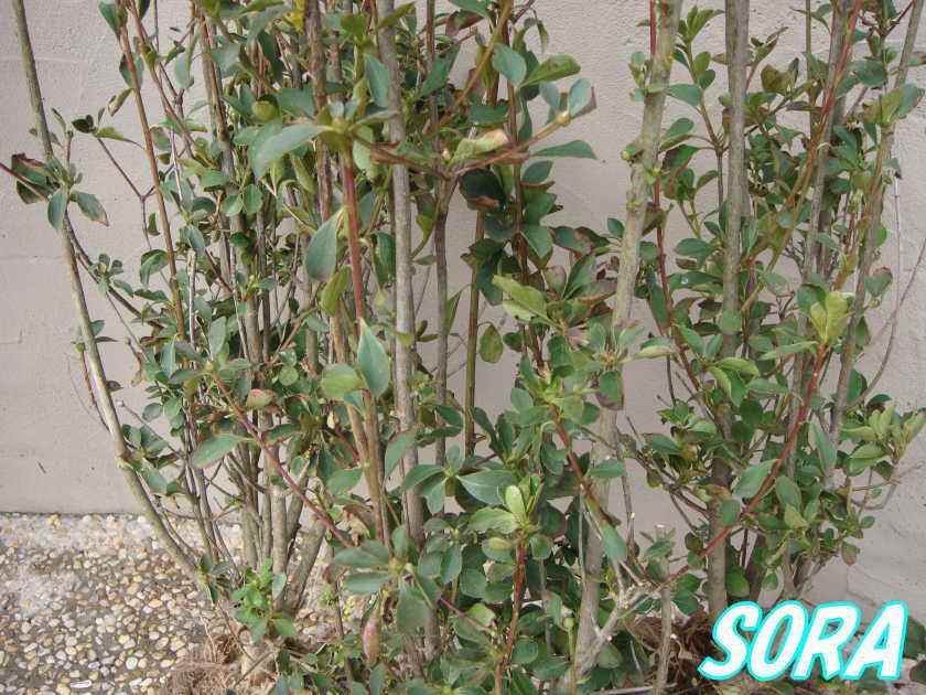 紅サラサドウダンツツジ H500~700 30本
