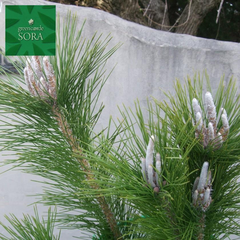 成長すると樹皮が鱗状に剥がれます 雄松 黒松 クロマツ H1100~1300mm 定番から日本未入荷 植木 苗 鉢底より 10本 美品