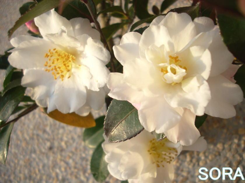 寒椿(白) 30本 05P03Dec16